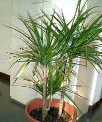 How Dragon Tree Purify The Air