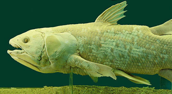 Coelacanth - oldest animals