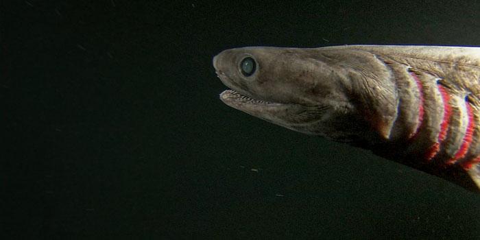 Frilled Shark - oldest animals